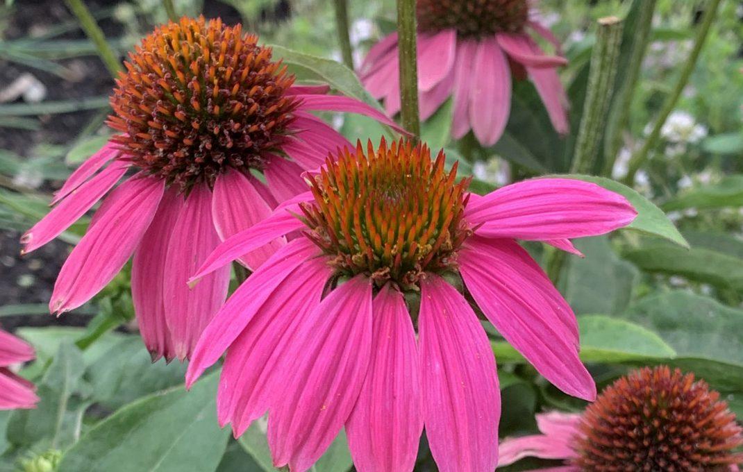 Echinacea-Tinktur, ein Mittel zur Stärkung der körpereigenen Abwehr